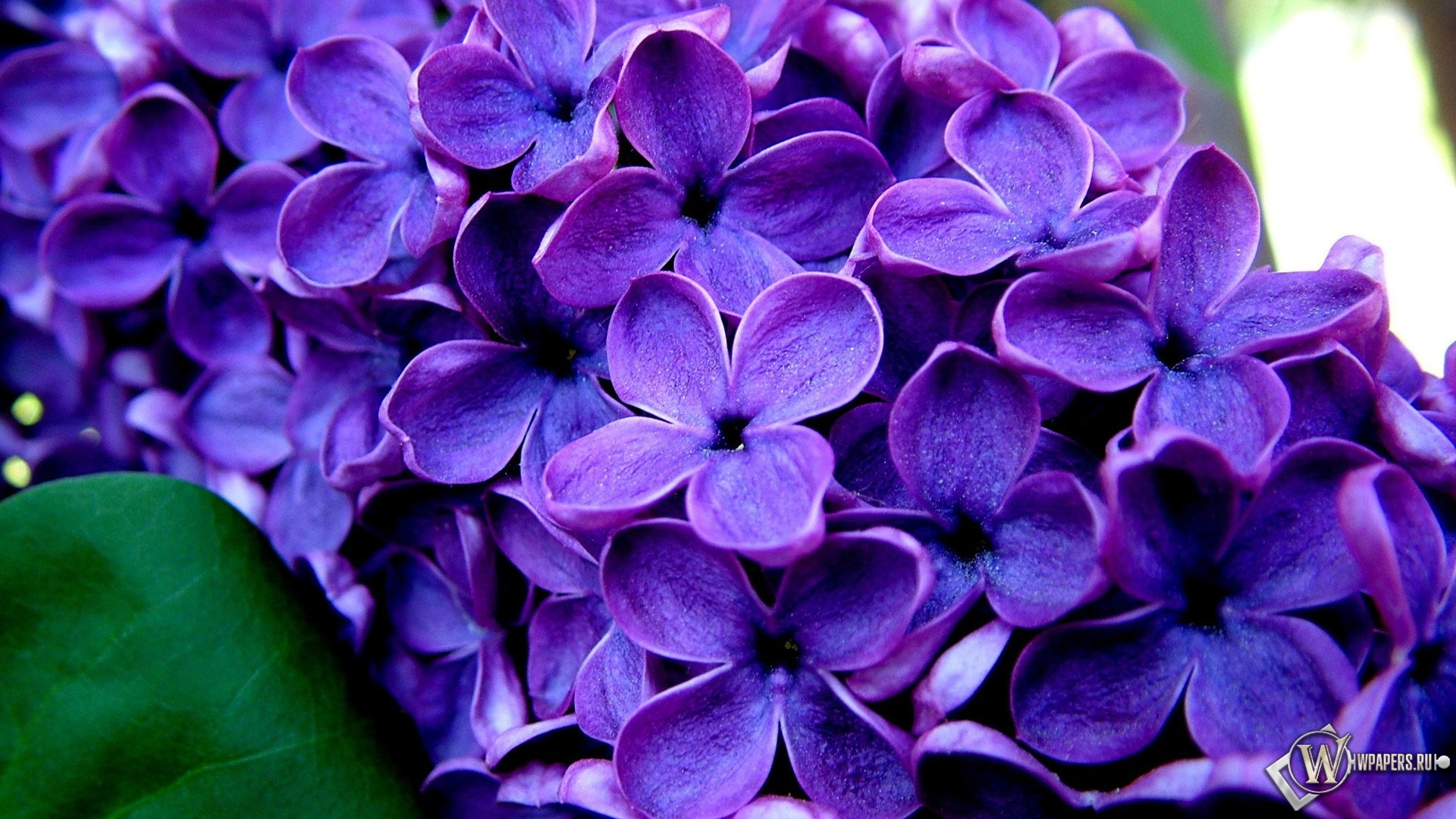 Великолепные фиолетовые цветы  1920x1080