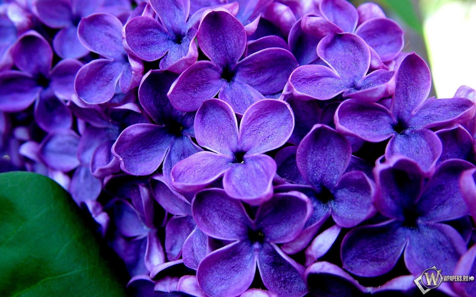 Великолепные фиолетовые цветы цветы