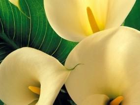 Обои Каллы: Цветы, Каллы, Цветы