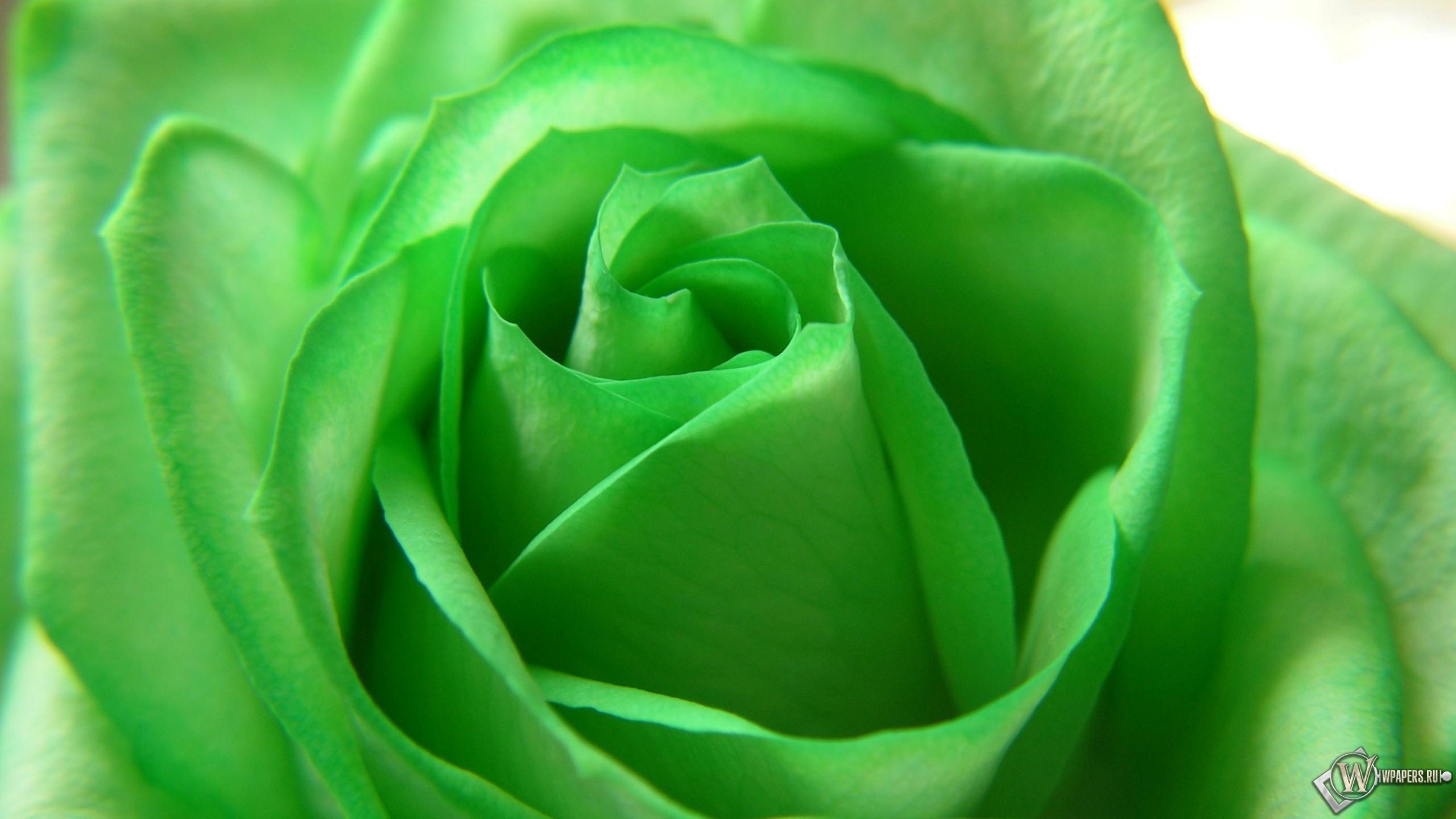 Скачать обои Зелёная роза (Роза, Красота, Лепестки, Зелёный, Цветы ...