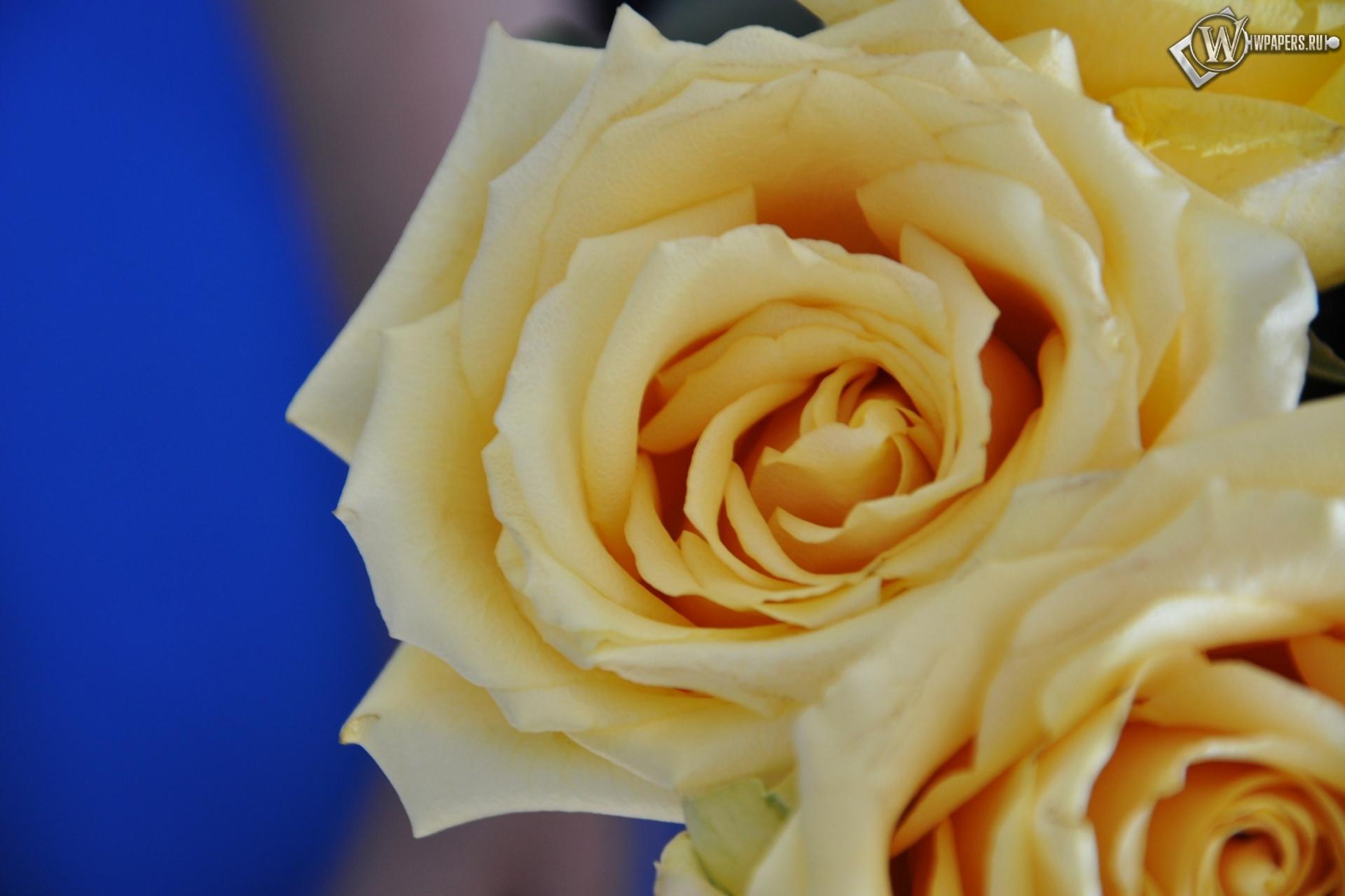 Желтые розы 1920x1280