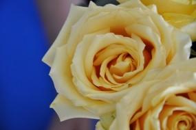 Обои Желтые розы: Цветы, Розы, Цветы