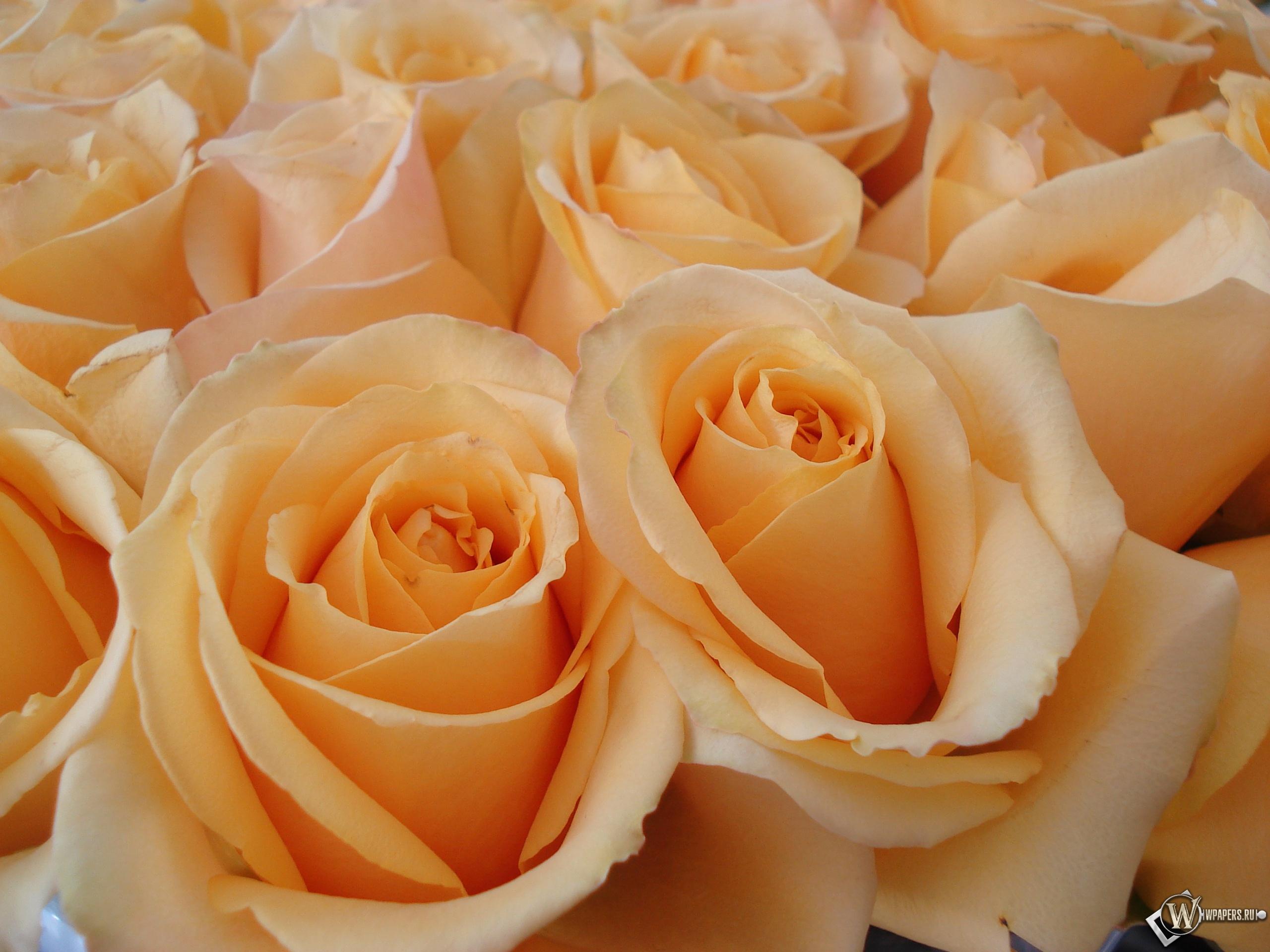 Розы 2560x1920