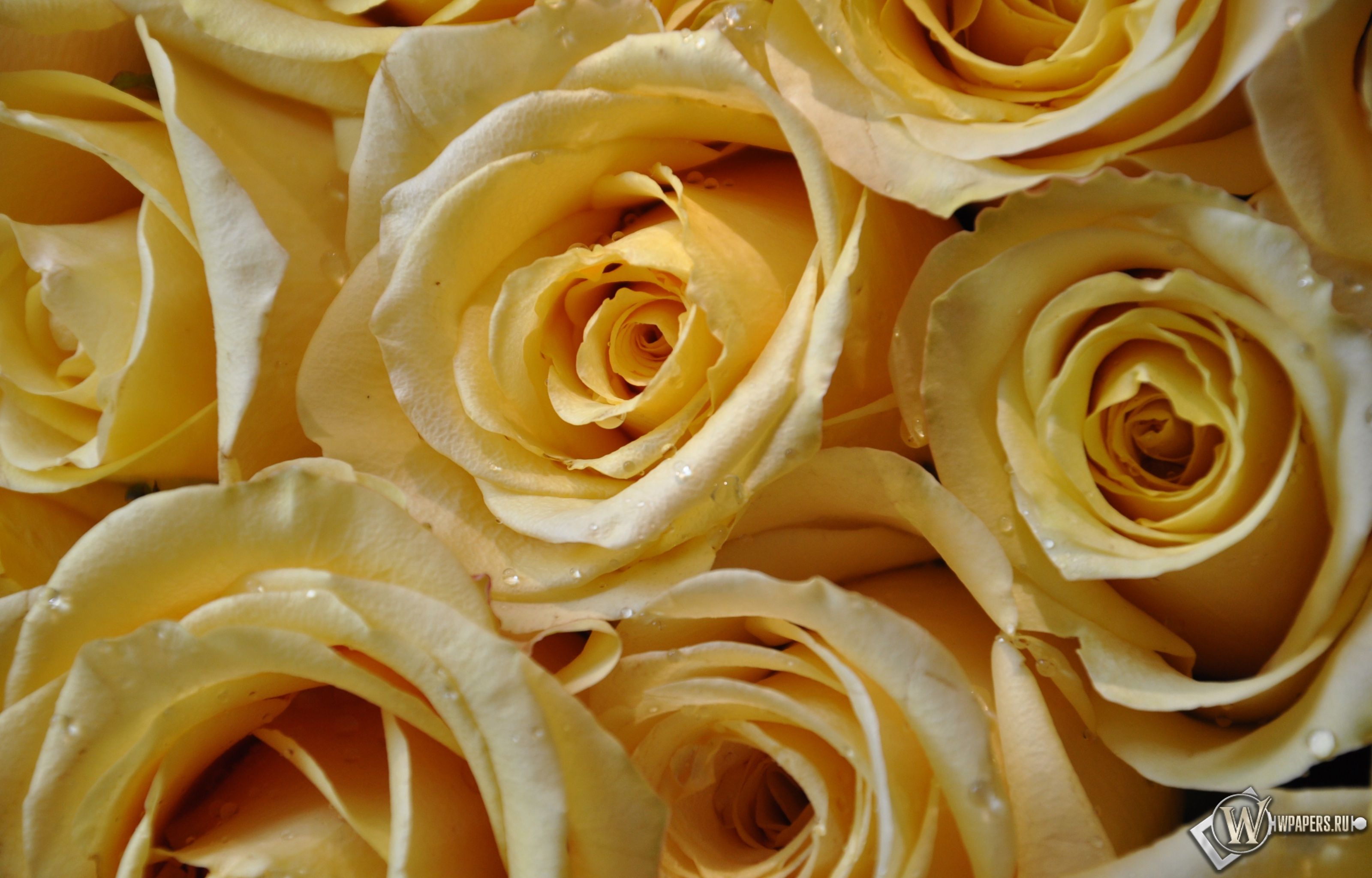 Желтые розы 3200x2048
