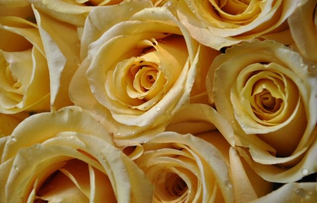 Желтые розы розы обоев 28 бутоны обоев 9