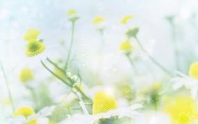Обои Ромашки: Цветы, Ромашки, Растения, Цветы