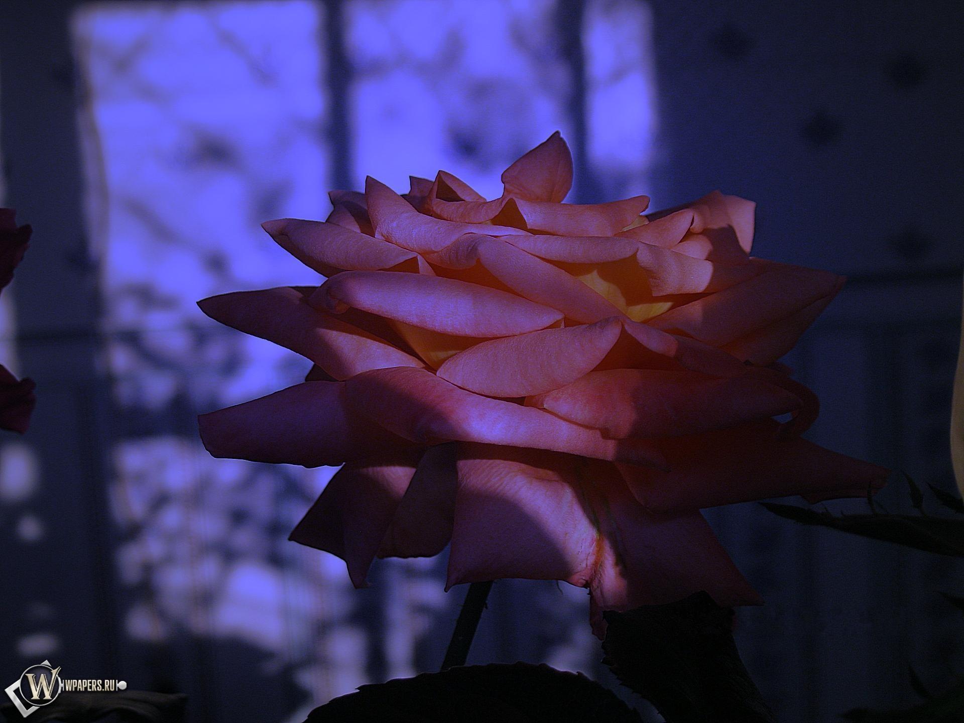 Сумеречная роза 1920x1440