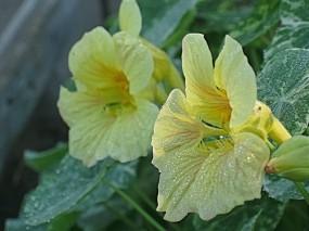 Обои Настурция в росе: Роса, Цветы, Настурция, Цветы