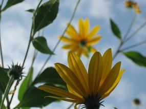 Обои Топинамбур: Цветы, Топинамбур, Картофель, Цветы