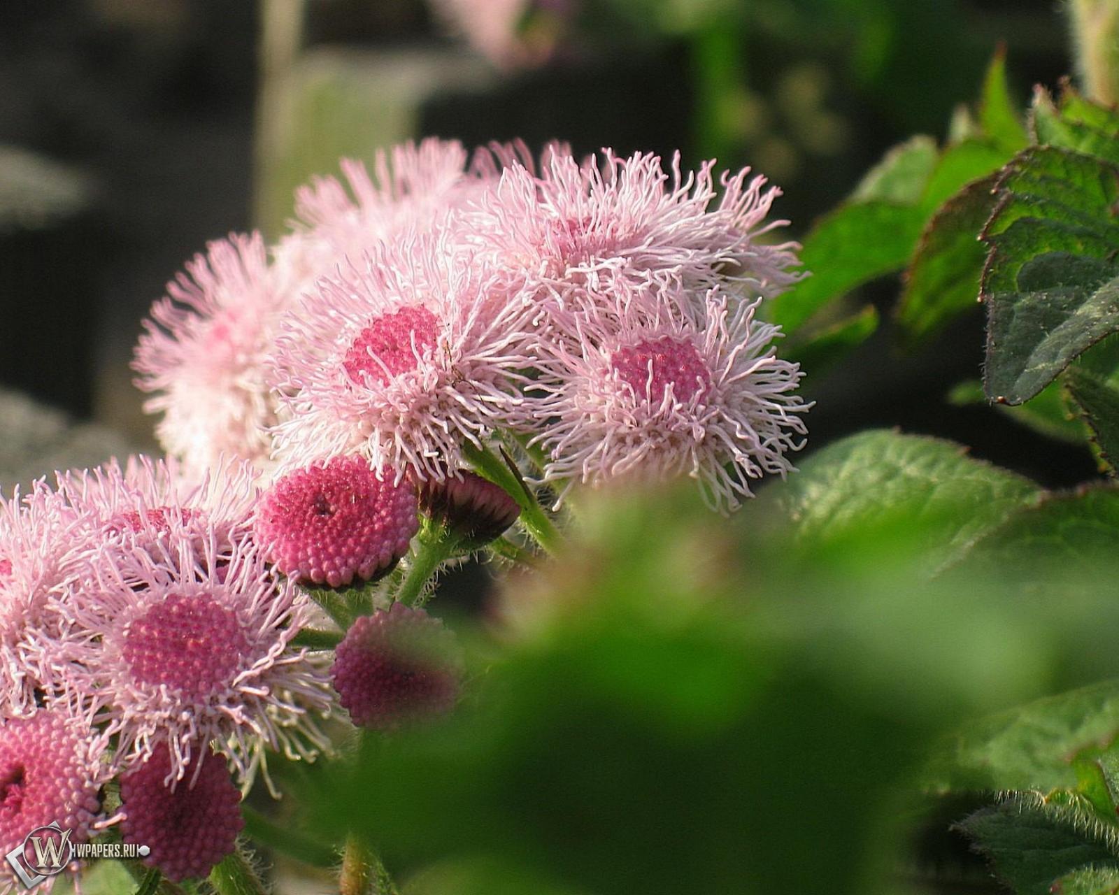 Обои садовые цветы цветы розовый