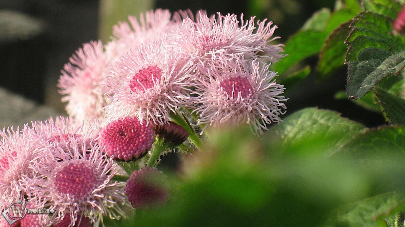 Садовые цветы цветы розовый лето