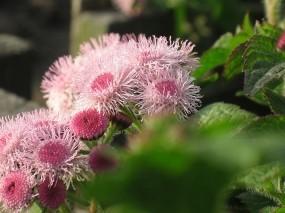 Обои Садовые цветы: Цветы, Розовый, Лето, Цветы