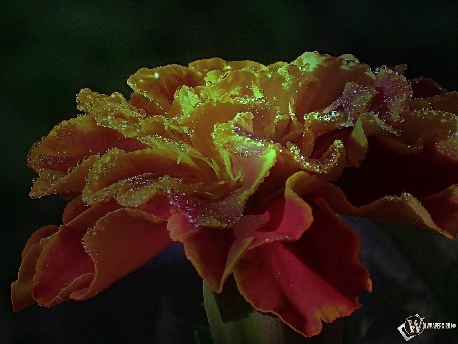 Роса на цветке бархатца 1600x1200