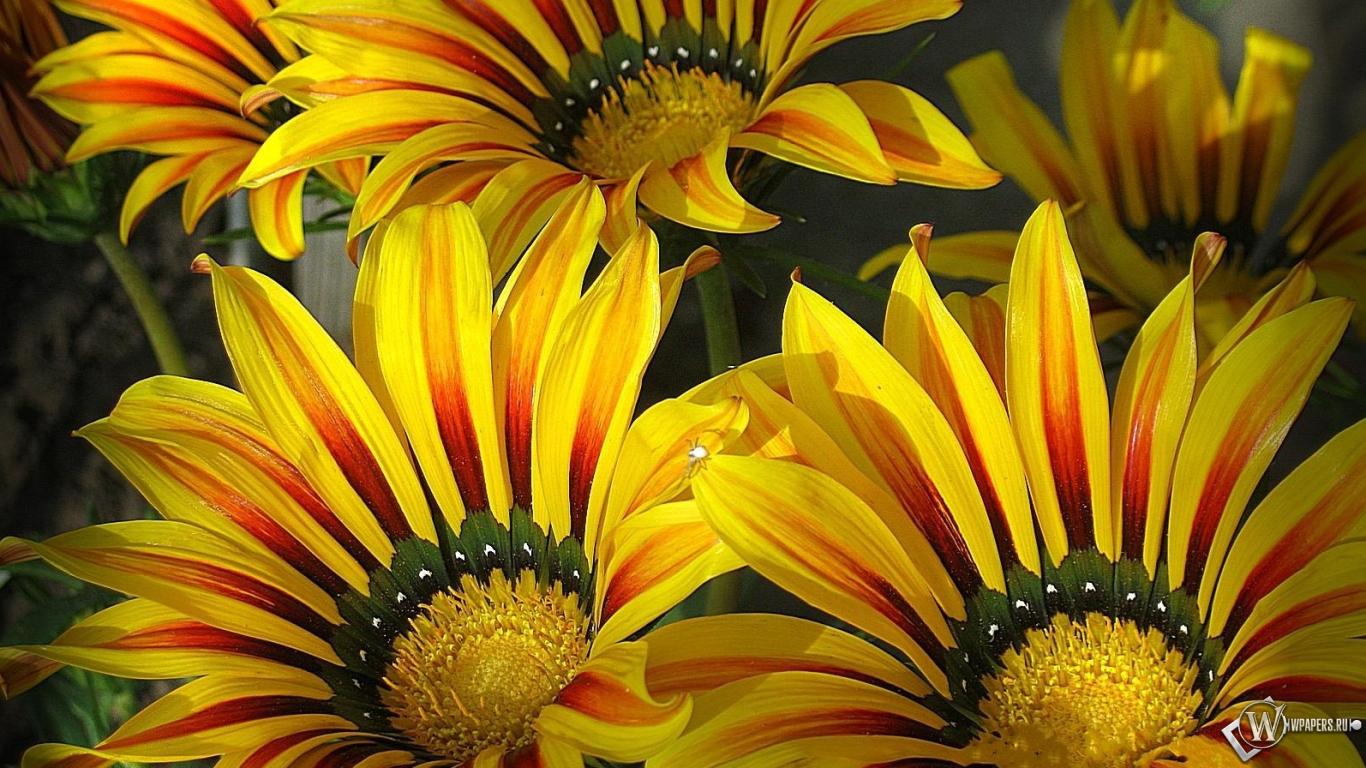 Обои цветы гацании яркие цветы