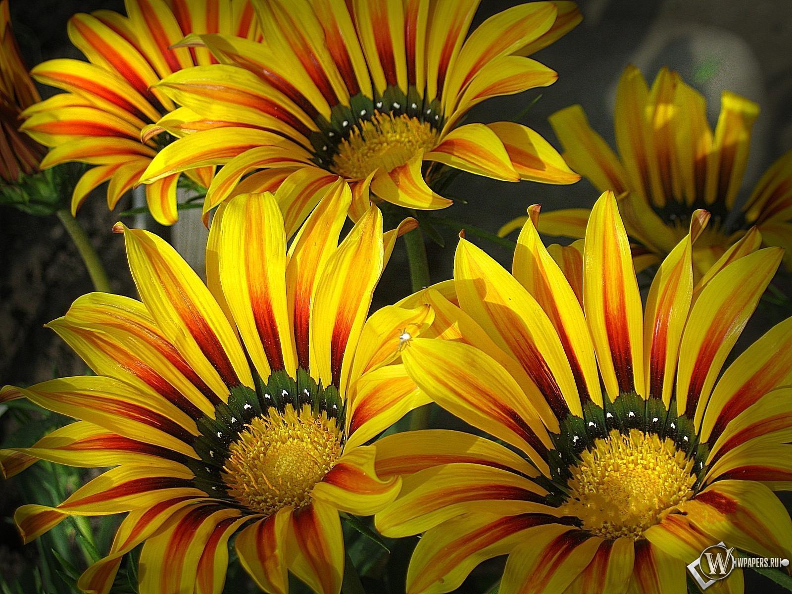 Цветы гацании яркие цветы садовые