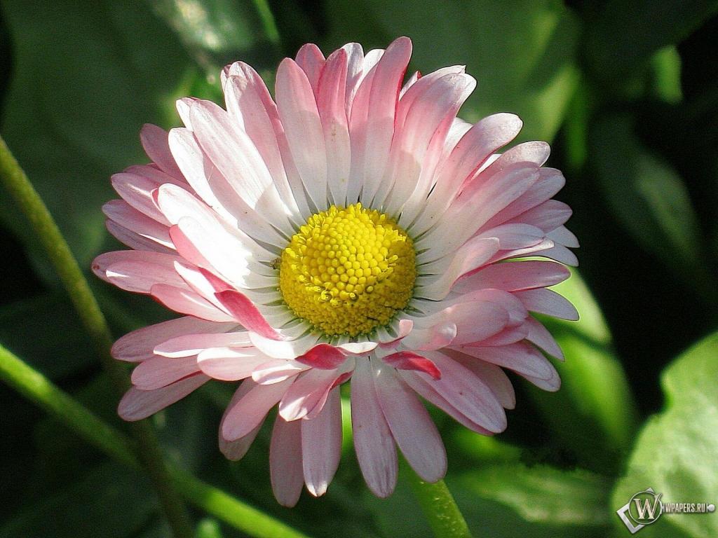 Цветок маргаритки 1024x768
