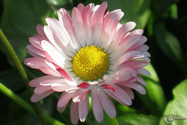Цветок ирезине уход в домашних условиях. - Комнатные цветы