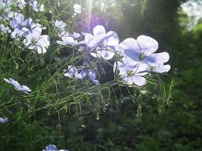 Обои Цветущий лен: Лучи солнца, Голубой, Лён, Просвет, Цветы