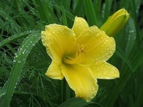 Обои Лилейник под дождем: Дождь, Желтый, Росинки, Цветы