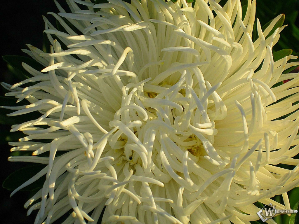 Астра Вид сверху на цветок иголь…