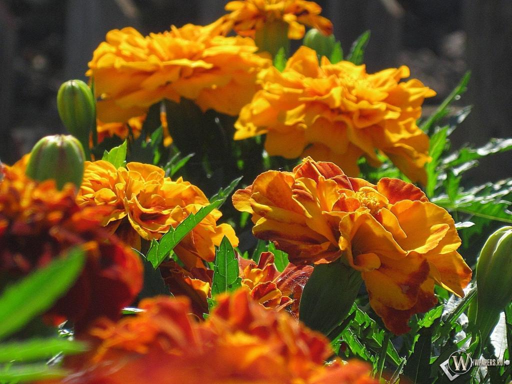 Цветы бархатцы картинки 3
