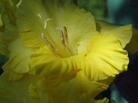 Обои Желтый гладиолус: Цветок, Желтый, Гладиолус, Цветы