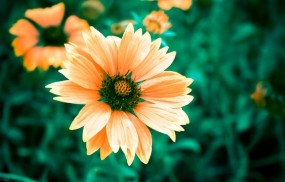 Обои Теплый цветок: Цветок, Красота, Цветы