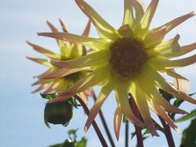 Обои Желтые георгины: Сад, Небо, Цветы, Лето, Георгины, Цветы