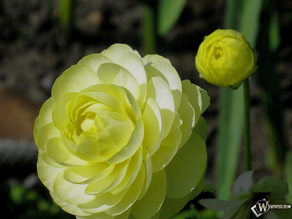 Цветок лютик картинка 1