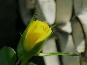 Обои Бутон розы: Роза, Цветок, Желтый, Бутон, Цветы