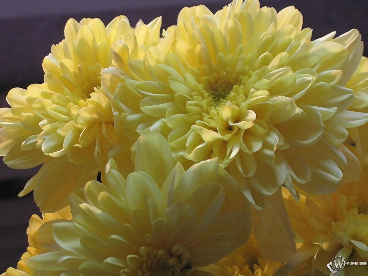 Обои желтые хризантемы цветы букет