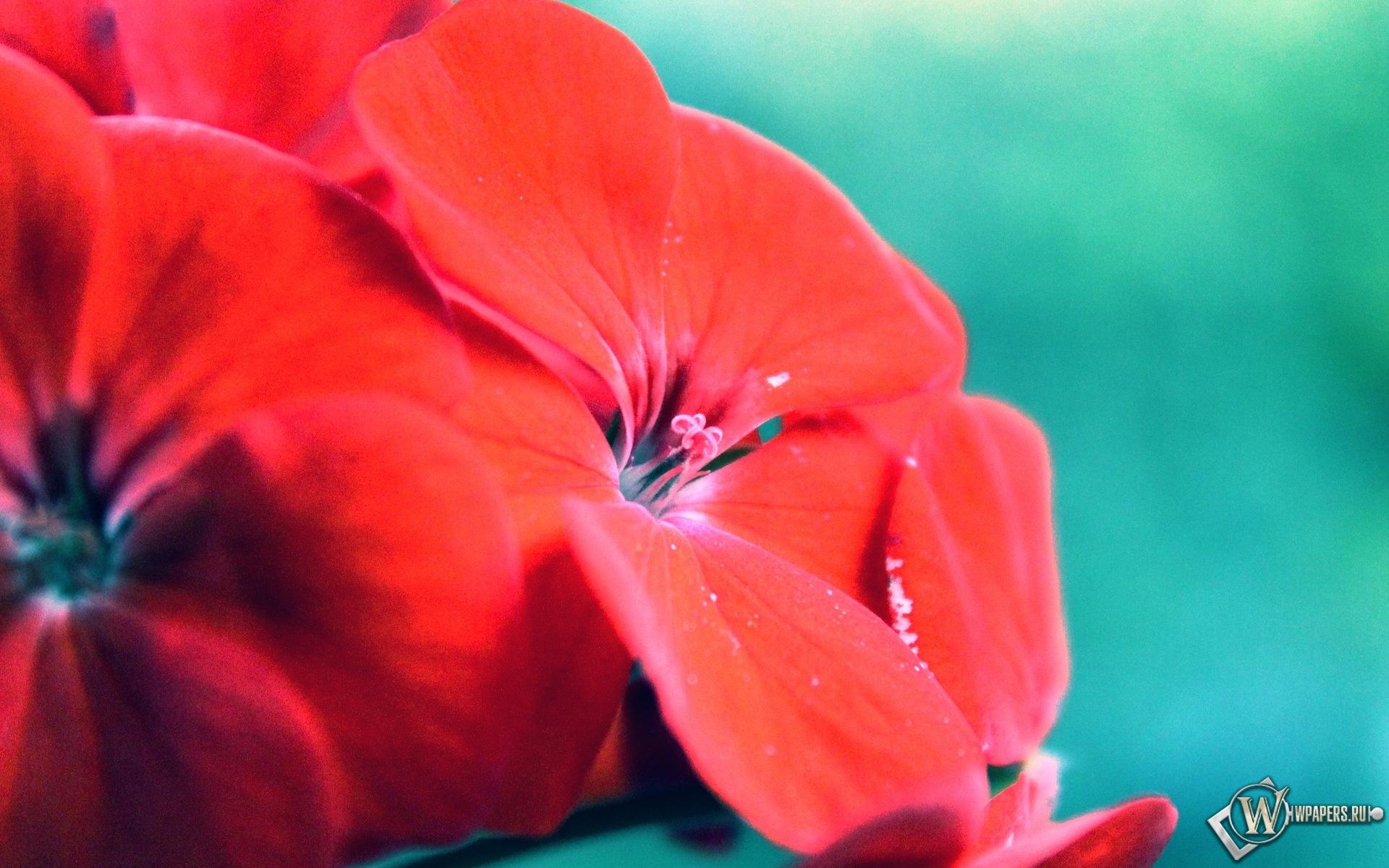 Обои яркие цветы цветы красный 1920x1200