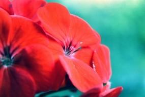 Обои Яркие цветы: Цветы, Красный, Цветы