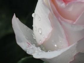 Обои Росинки: Роза, Цветок, Роса, Белый, Цветы