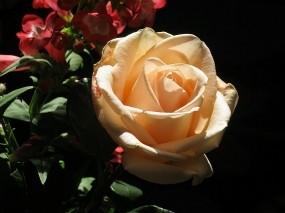 Обои кремовая роза: Роза, Цветок, Цветы