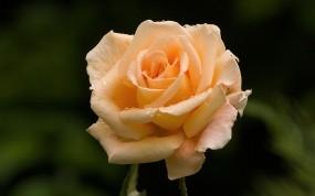 Обои Розовая роза: Роза, Роса, Розовый, Цветы