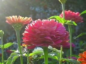 Обои Циннии: Цветы, Бутон, Цинии, Цветы