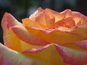Обои Солнечное утро: Цветок, Лепестки, Бутон, Цветы