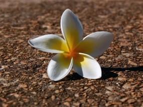 Обои Цветочек: Лепестки, Цветочек, Земля, Цветы