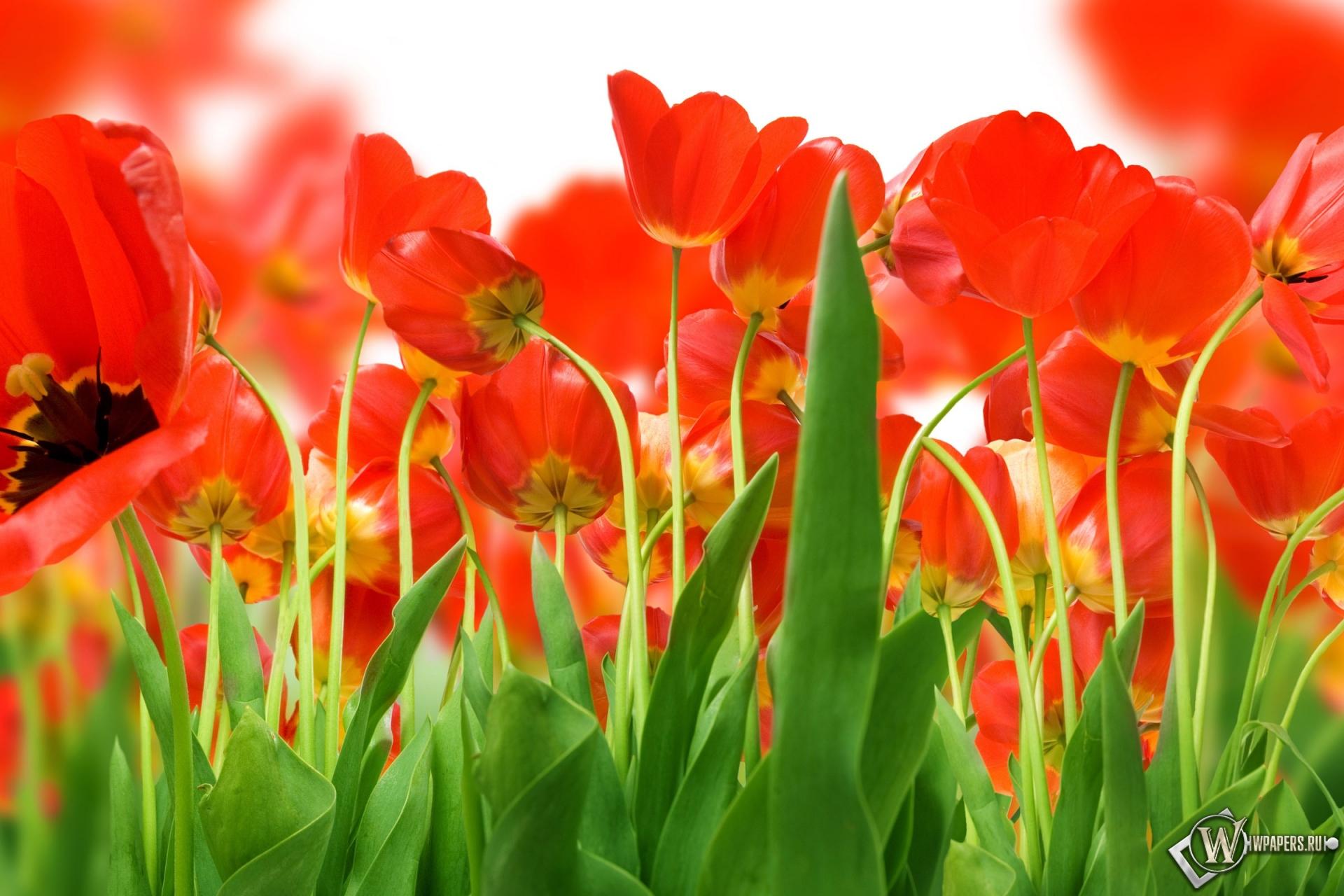 Обои красные тюльпаны на рабочий стол