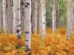 Обои Березы в осеннем лесу: Лес, Деревья, Осень, Папоротник, Берёзы, Деревья