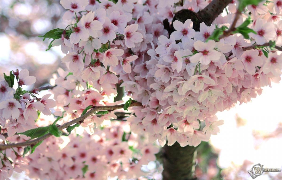 Обои сакура цветочки ветка цветение