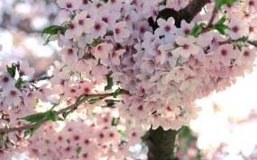 Обои Сакура: Цветочки, Ветка, Цветение, Сакура, Деревья