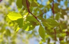 Обои Лепесточки: Зелень, Ветка, Листья, Деревья