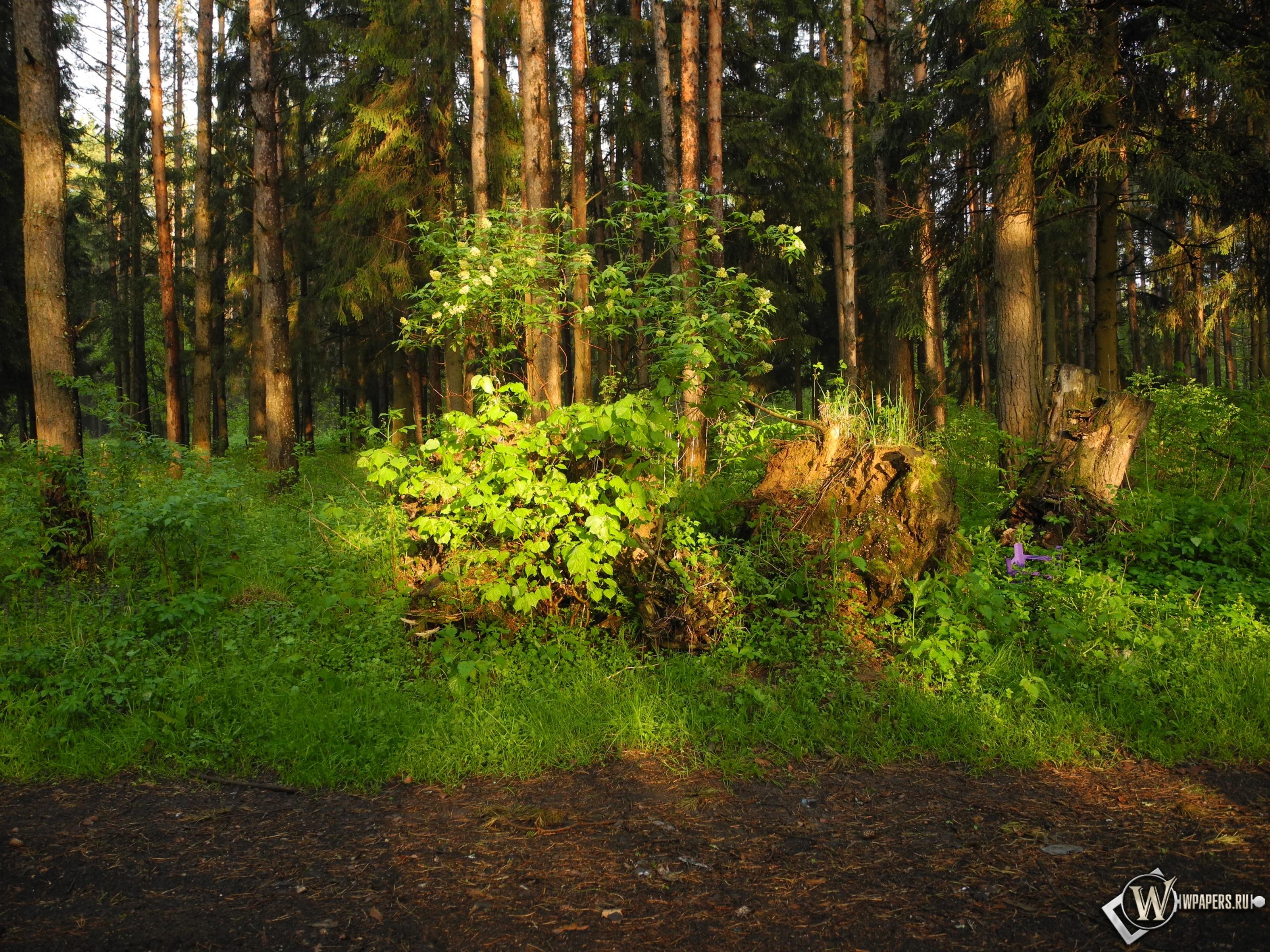 Ярцевский лес весной на закате 3200x2400