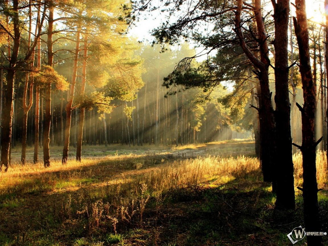 Обои утренний лес лес утро 1152x864