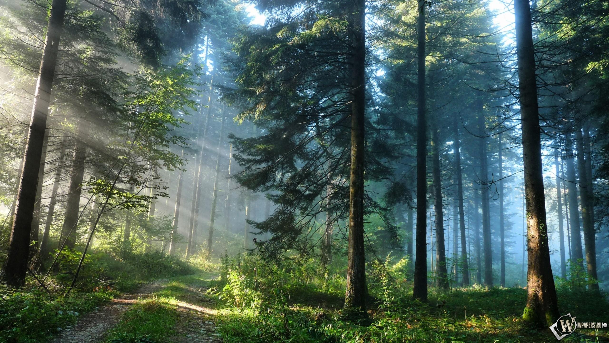 Кусочек лета в утреннем сосновом лесу
