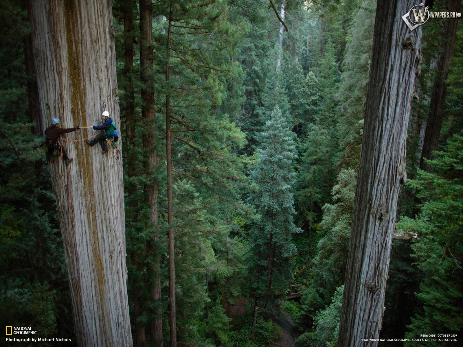 Леса гигантской секвойи 1600x1200