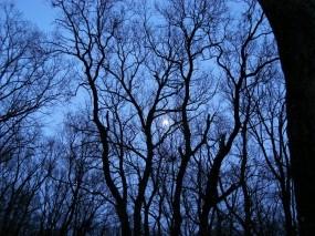 Обои Луна за деревьями: Деревья, Луна, Moon, Деревья