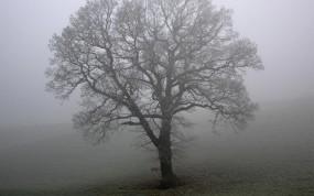 Обои Дерево в тумане: Туман, Поле, Дерево, Деревья